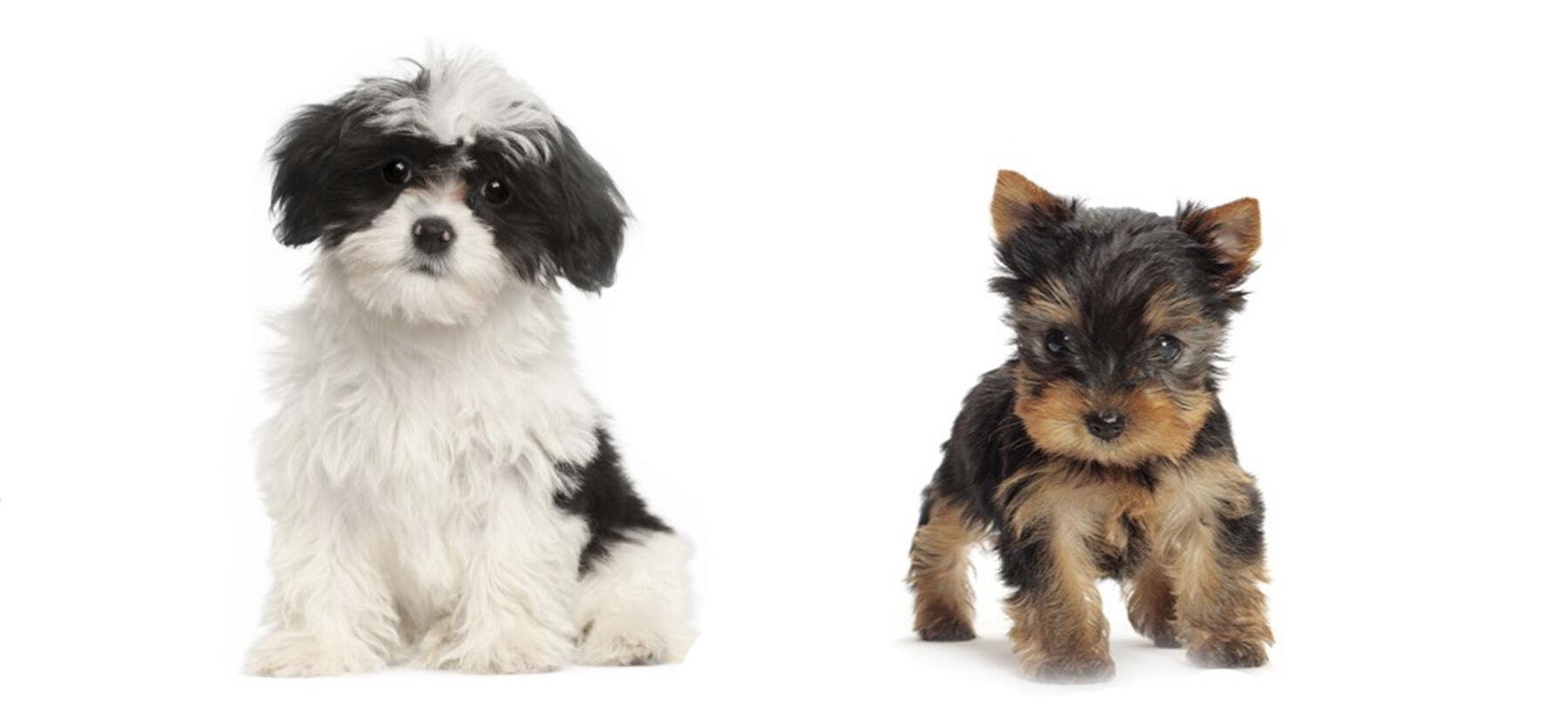 Yorkshire terrier Anya Bögre - KutyásPólósportvendeglo.hu Webáruház